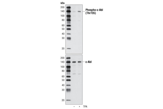 Western blot analysis of extracts from HeLa cells, untreated or TPA-treated (200 nM), using Phospho-c-Abl (Thr735) Antibody (upper) or c-Abl Antibody #2862 (lower).