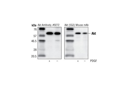 Immunoprecipitation of Akt from PDGF (100 ng/ml for 11 minutes) treated and untreated NIH/3T3 cell lysates, using</p><p>control Akt Antibody #9272 (left) and Akt (5G3) Mouse mAb (right). Western blot detection was performed using Akt Antibody #9272.