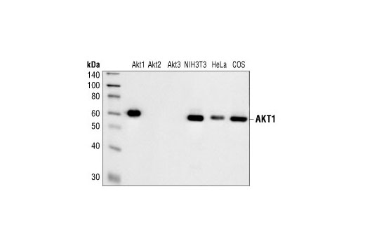 Monoclonal Antibody - Akt1 (2H10) Mouse mAb - Immunoprecipitation, Western Blotting, UniProt ID P31749, Entrez ID 207 #2967, Antibodies to Kinases