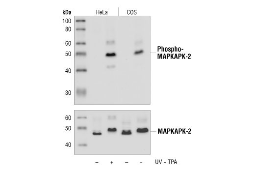 Western blot analysis of extracts from untreated or UV+TPA-treated HeLa and COS cells, using Phospho-MAPKAPK-2 (Thr334) (27B7) Rabbit mAb (upper), or MAPKAPK-2 Antibody #3042 (lower).