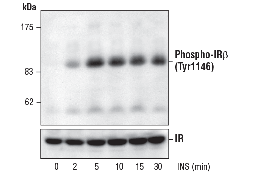 Western blot analysis of extracts from 3T3-L1 adipocytes, untreated or insulin-treated (100 nM for the indicated times), using Phospho-IGF-I Receptor β (Tyr1131)/Insulin Receptor β (Tyr1146) Antibody (upper) or control IR antibody (lower).