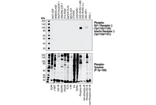 Antibody Sampler Kit Protein Tetramerization