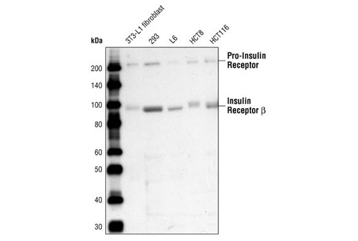 Western blot analysis of extracts from various cell lines using Insulin Receptor β (4B8) Rabbit mAb.