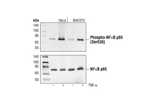 Western blot analysis of extracts from HeLa and NIH/3T3 cells, untreated or TNF-α treated (#2169, 20 ng/ml for 5 minutes), using Phospho-NF-κB p65 (Ser536) (93H1) Rabbit mAb (upper) or NF-κB p65 Antibody #3034 (lower).
