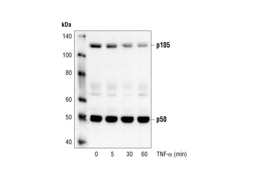Western blot analysis of extracts from Hela cells, untreated or treated with TNF-alpha (12ng/ml) for the indicated amounts of time, using NF-kappaB p105/p50 Antibody.