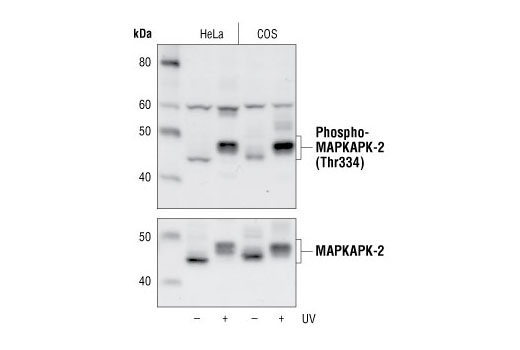 Western blot analysis of extracts from untreated or UV treated HeLa and Cos cells, using Phospho-MAPKAPK-2 (Thr334) Antibody (upper) or MAPKAPK-2 Antibody #3042 (lower).