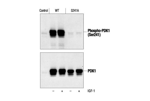 Western blot analysis of extracts from 293 cells transiently transfected with DNA constructs expressing Wild-type PDK1 or S241A mutant PDK1, treated with IGF-1, using Phospho-PDK1 (Ser241) Antibody (upper) or control PDK1 Antibody #3062 (lower). (Cell lysates provided by Dr. M. Scheid, Ontario Cancer Institute, University Health Network, Toronto.)