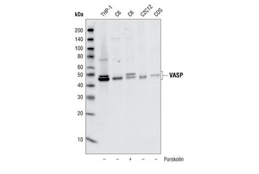 Polyclonal Antibody - VASP Antibody - Western Blotting, UniProt ID P50552, Entrez ID 7408 #3112, Cytoskeletal Signaling