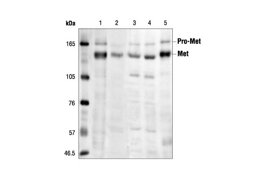 Western blot analysis of extracts from various cell lines: mIMCD3 (lane 1), Vero (lane 2), 293 (HGF stimulated; lane 3) 293 (starved; lane 4) and C6 (lane 5), using Met (25H2) Mouse mAb.
