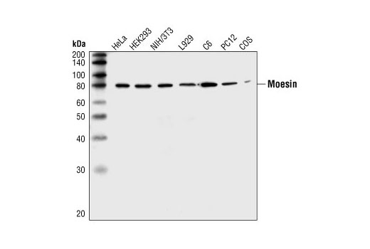 Western blot analysis of extracts from HeLa, HEK293, NIH/3T3, L929, C6, PC12, and COS cells, using Moesin Antibody.