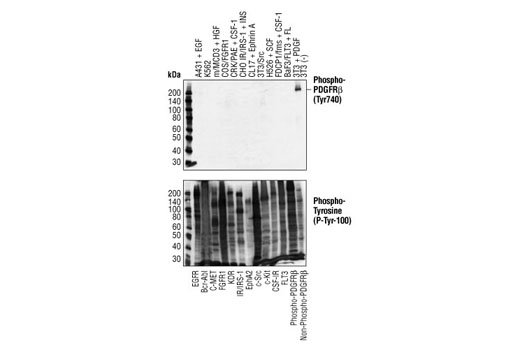 Phospho-PDGF Receptor β (Tyr740) (32A9) Rabbit mAb specifically binds to tyrosine phosphorylated PDGF receptor-β, but not other phosphorylated tyrosine kinases. Western blot analysis of extracts from cells expressing different activated tyrosine kinase proteins, using Phospho-PDGF Receptor beta (Tyr740) (32A9) Rabbit mAb (upper) or Phospho-Tyrosine Mouse mAb (P-Tyr-100) #9411 (lower).