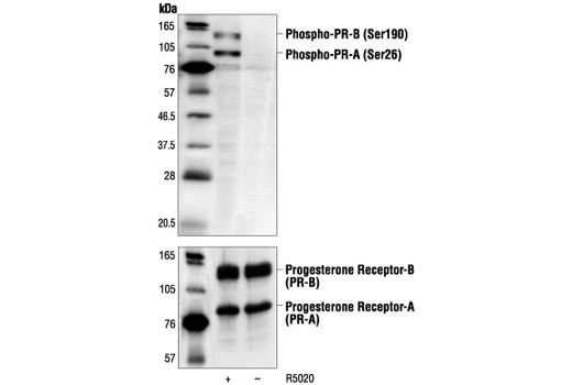Polyclonal Antibody Western Blotting Ligand-Dependent Nuclear Receptor Activity - count 20
