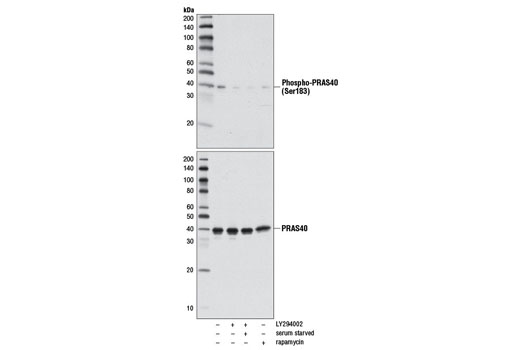 Western blot analysis of extracts from HeLa cells, untreated or treated with LY294002 #9901 (with and without serum starvation) or with Rapamycin #9904, using Phospho-PRAS40 (Ser183) Antibody (upper) or PRAS40 (D23C7) XP<sup>®</sup> Rabbit mAb #2691 (lower).