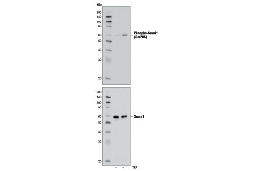 Western blot analysis of extracts from HT-1080 cells, untreated or treated with TPA #4174 (200 nM for 30 minutes), using Phospho-Smad1 (Ser206) (D40B7) Rabbit mAb (upper) and Smad1 Antibody #9743 (lower).