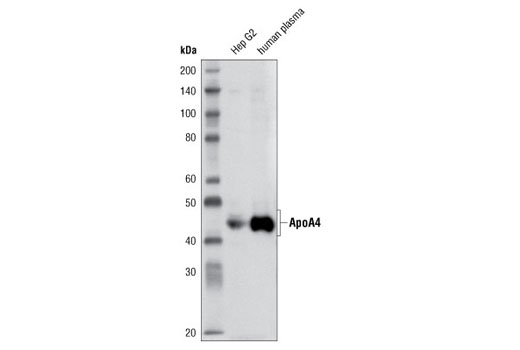 Western blot analysis of Hep G2 cell extracts and human plasma using ApoA4 (1D6B6) Mouse mAb.