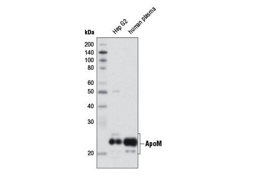 Monoclonal Antibody Immunoprecipitation Antioxidant Activity - count 10