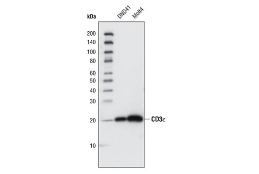 Monoclonal Antibody - CD3ε (CD3-12) Rat mAb - Immunoprecipitation, Western Blotting, UniProt ID P07766, Entrez ID 916 #4443