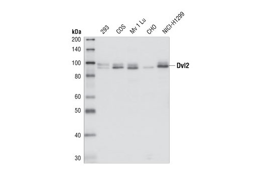 Western blot analysis of total cell extracts from 293, COS, Mv 1 Lu, CHO and NICI-H1299 cells, using Dvl2 antibody.