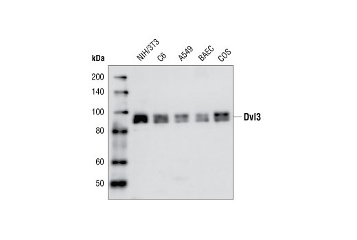 Western blot analysis of extracts from NIH/3T3, C6, A549, BAEC and COS cells using Dvl3 Antibody.
