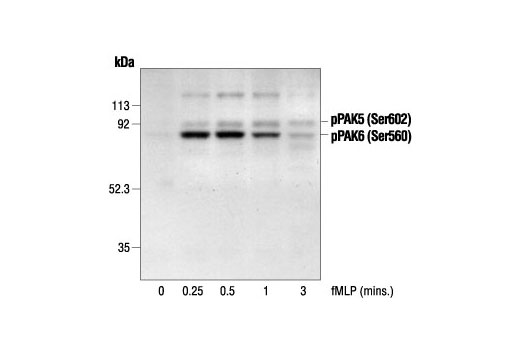Western blot analysis of extracts from guinea pig neutrophils stimulated with fMLP for the indicated times, using Phospho-PAK4 (Ser474)/PAK5 (Ser602)/PAK6 (Ser560) Antibody. (Provided by Drs. Qian Zhan and John Badwey, Dept. of Biological Chemistry and Molecular Pharmacology, Harvard Medical School, Massachusetts.)