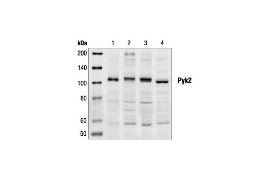 Western blot analysis of extracts from SKW6.4 (lane 1), Jurkat (lane 2), Namalwa (lane 3) and LS 102.9 (lane 4) cells using Pyk2 Antibody.