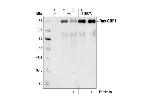 Western blot analysis of extracts from COS cells, untransfected (lane 1) or transfected with either wild-type (lanes 2 and 3) or Ala916 mutant (lanes 4 and 5) Ras-GRF1, using Ras-GRF1 Antibody. Transfected COS cells were untreated or treated forskolin as indicated.(Triple HA-tagged Ras-GRF1 expressing plasmids provided by Dr. R. Mattingly, Dept. of Pharmacology, Wayne State University, Michigan.)