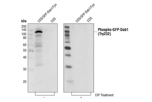 Western blot analysis of cell lysates from 293 cells co-transfected with GFP-Dab1 and Fyn expression constructs, untreated and treated with calf intestinal phosphatase (CIP), using Phospho-Dab1 (Tyr232) Antibody.