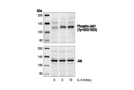 Western blot analysis of extracts from HT-29 cells treated with IL-4 (100 ng/ml) for the indicated times, using Phospho-Jak1 (Tyr1022/1023) Antibody (upper) or Jak1 Antibody (lower).