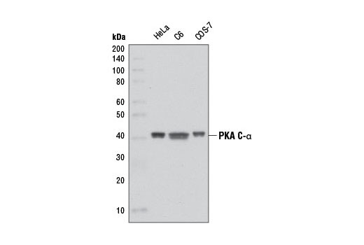 Western blot analysis of extracts from HeLa, C6, and COS-7 cells using PKA C-α (D38C6) Rabbit mAb.