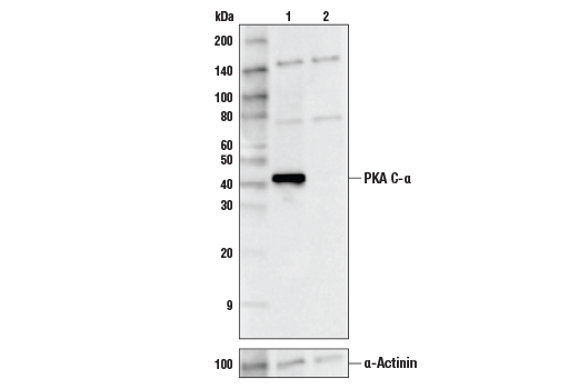 Western blot analysis of HEK293 Cell Extracts, untreated (-) or PKA C-a knock-out (+) using PKA C-α (D38C6) Rabbit mAb, #5842 (upper) or #6487 α-Actinin (D6F6) XP® Rabbit mAb (lower).