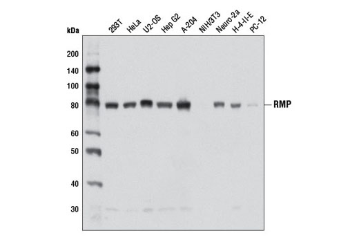 Western blot analysis of extracts from various cell lines using RMP Antibody.