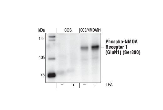 Western blot analysis of extracts from parental (COS) or NMDAR1-transfected (COS/NMDAR1) cells, untreated or TPA-treated (100 nM for 5 minutes), using Phospho-NMDA Receptor 1 (GluN1) (Ser890) Antibody.
