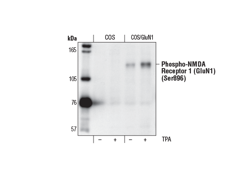 Western blot analysis of extracts from parental (COS) or NMDA Receptor 1 (GluN1)-transfected (COS/GluN1) cells, untreated or TPA-treated (100 nM for 5 minutes), using Phospho-NMDA Receptor 1 (GluN1) (Ser896) Antibody.