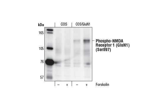 Western blot analysis of extracts from parental (COS) or NMDA Receptor 1 (GluN1)-transfected (COS/GluN1) cells, untreated or forskolin-treated (30 mM for 20 minutes), using Phospho-NMDA Receptor 1 (GluN1) (Ser897) Antibody.