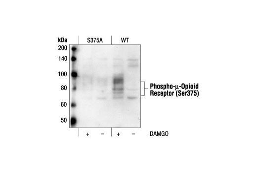 Western blot analysis of extracts from CHO cells, stably transfected with S375A mutant or Wild-type (WT) µ-opioid receptor, untreated or DAMGO-treated (1 mM for 5 minutes), using Phospho-µ-Opioid Receptor (Ser375) Antibody.