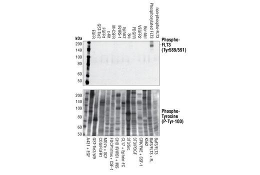 Monoclonal Antibody - Phospho-FLT3 (Tyr589/591) (30D4) Rabbit mAb, UniProt ID P36888, Entrez ID 2322 #3464 - #3464