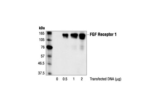 Polyclonal Antibody Immunoprecipitation Fibroblast Growth Factor Receptor Activity