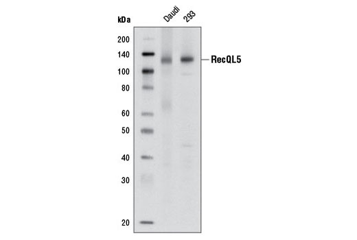 Western blot analysis of extracts from Daudi and 293 cells using RecQL5 (1A2) Mouse mAb.