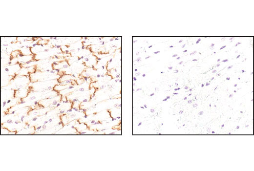 Immunohistochemical analysis of paraffin-embedded mouse heart using Connexin 43 Antibody in the presence of control peptide (left) or antigen specific peptide (lright).