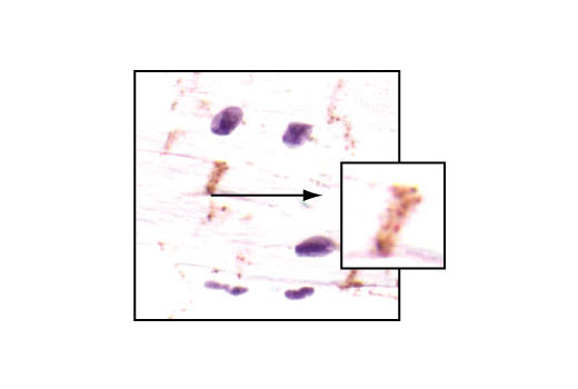 Immunohistochemical analysis of paraffin-embedded human heart, using Connexin 43 Antibody. (High magnification, inset).