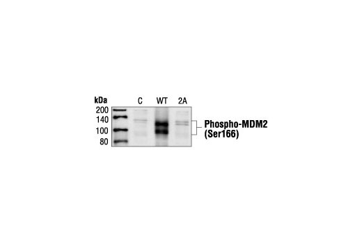 Polyclonal Antibody Negative Regulation of Dna Damage Response - count 20