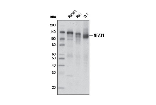 Western blot analysis of extracts from Ramos, Raji, and EL4 cells using NFAT1 (D43B1) XP<sup>®</sup> Rabbit mAb.