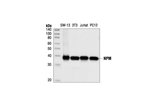 Western blot analysis of extracts from SW-13, NIH/3T3, Jurkat and PC12 cells, using NPM Antibody.