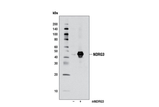 Western blot analysis of extracts from 293T cells, mock transfected (-) or transfected with a mouse NDRG3 construct (+), using NDRG3 Antibody.