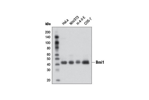 Western blot analysis of extracts from various cell lines using Bmi1 (D42B3) Rabbit mAb.