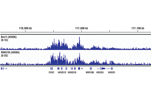 Chromatin Immunoprecipitation Image 1: Bmi1 (D42B3) Rabbit mAb