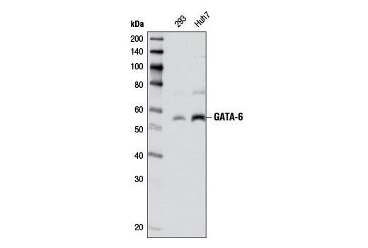 Western blot analysis of extracts from Huh7 and 293 cells using GATA-6 (D61E4) XP<sup>®</sup> Rabbit mAb.