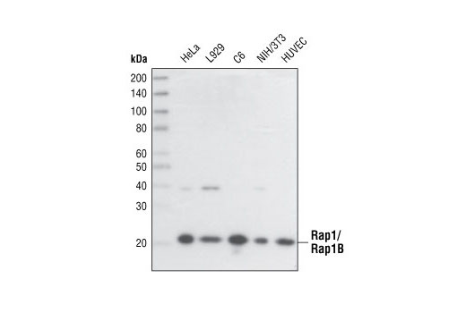 Western blot analysis of extracts from various cell lines, using Rap1A/Rap1B (26B4) Rabbit mAb.