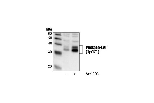 Polyclonal Antibody Regulation of t Cell Activation - count 20