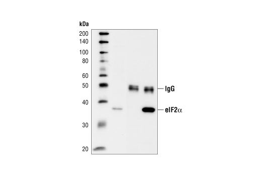 Western blot analysis of immunoprecipitates from PC12 cells, using Phospho-eIF2alpha (Ser51) (119A11) Rabbit mAb. Lane 1 is lysate control, lane 2 is the antibody alone as negative control and lane 3 is antibody immunocomplex of PC12 cells.